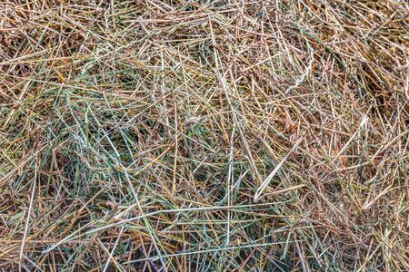 Closeup of drying grass for the harvesting of hay as a cattle feed. The grass in a row on the field is in different drought stages and the color now varies from green to golden yellow.