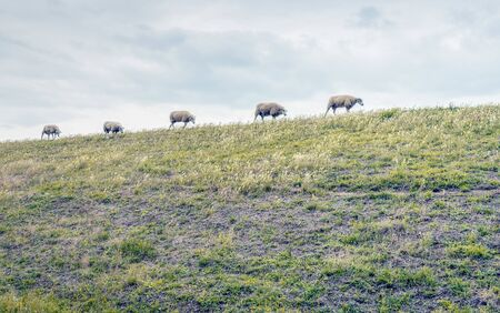 Five sheep walking in a row on top of a Dutch embankment on a cloudy day in the summer season.