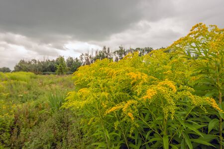 Budding and flowering Goldenrod in its own natural habitat. The yellow blooming Goldenrod or Solidago plant stands out from the other plants and flowers. The photo was taken in summertime.