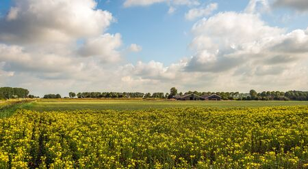 Dutch landscape with yellow flowering common evening-primrose or Oenothera biennis plants growing in the foreground and barns in the background. The photo was taken on the former Dutch island Tholen. Banque d'images
