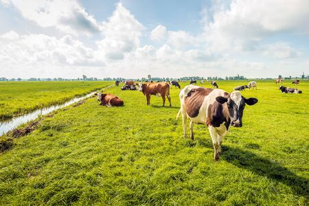 Backlit image of grazing and ruminating cows with transponders for identifiaction in a Dutch polder.  The photo was taken on a cloudy day in summertime near the village of Langerak, Alblasserwaard.