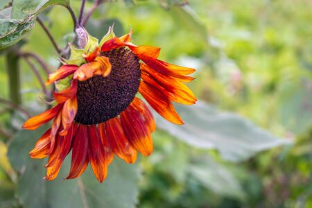 Closeup of an orange-red sunflower with a brown heart in the foreground of its own natural habitat. Autumn is approaching now.
