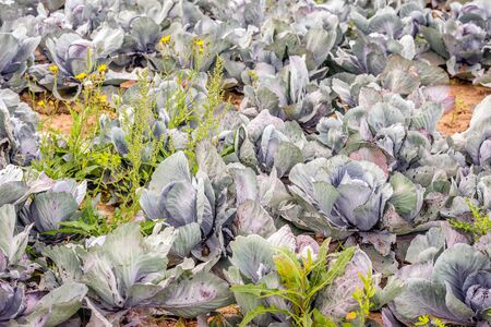 Closeup of organically grown red cabbages. Some leaves show holes because insects have eaten them. Between the cabbages are wild plants and wildflowers because the farmer does not use pesticides.