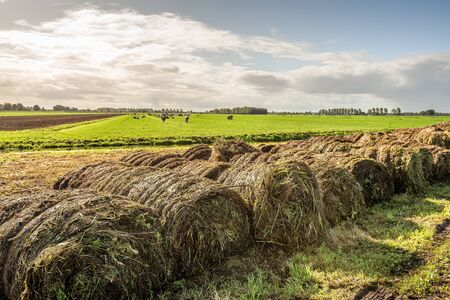 Dutch landscape in the autumn season. In the background is a meadow with cows and a plowed field. In the foreground rolls with organic material collected during the cleaning of the ditches are visible 版權商用圖片