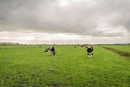 Cows graze in a Dutch meadow. It is raining from the dark clouds. The photo was taken in the fall season at the village of Noordeloos, municipality of Molenlanden, Alblasserwaard, South Holland.