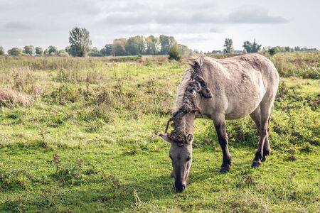 Konik horse grazes undisturbed in the Dutch nature reserve Groesplaat on the Boven Merwede river, near the village of Sleeuwijk,  province of Noord-Brabant. The mane and tail are full of tangles.