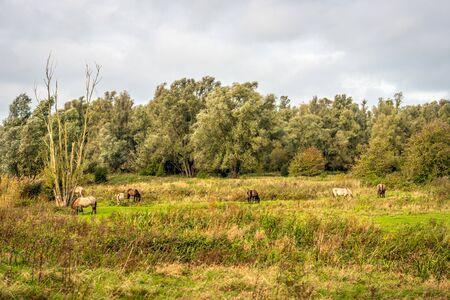 Konik horses graze undisturbed in the Dutch nature reserve Groesplaat on the Boven Merwede river, near the village of Sleeuwijk,  province of Noord-Brabant.