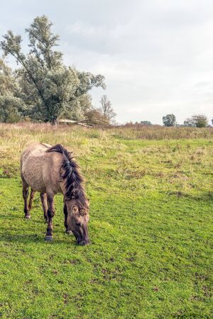 Konik horse grazes undisturbed in the Dutch nature reserve Groesplaat on the flood plains of the Boven Merwede river, near the village of Sleeuwijk. The mane and tail are full of tangles.