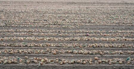 Seemingly endless rows of harvested onions drying on the field of a Dutch farm. The photo was taken at the village of Dussen, municipality of Altena, province of Noord-Brabant