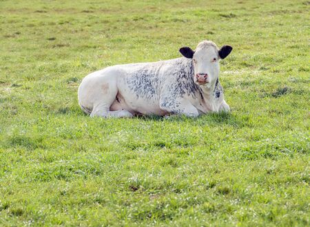 Gray-dotted white cow lies calmly ruminating in the green grass. The photo was taken near the Dutch village of Almkerk, municipality of Altena, province of Noord-Brabant. It is autumn now.