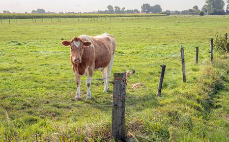 Red cow in a Dutch meadow. Around the grass is a fence with wooden poles and barbed wire. It is in the autumn season now.