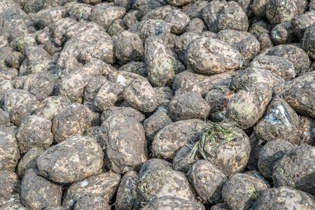 Closeup of a heap of recently harvested sugar beets at the roadside beside the Dutch field. The beets wait for transport to the sugar factory. The beets are covered with mud and clay. It is autumn now Stockfoto