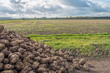 Heap of recently harvested sugar beets at the roadside beside the Dutch field. The beets wait for transport to the sugar factory. The photo was taken near the village of Nieuwendijk, North Brabant.