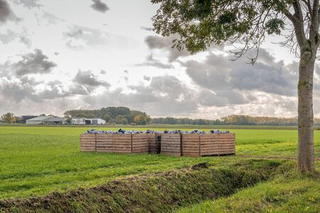 Backlight image of recently harvested red cabbages side by side in wooden crates on the grass waiting for further transport. The photo was taken near the Dutch village of Werkendam, North Brabant. Stockfoto