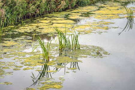 Reed plants and a cloudy sky reflected in the mirror smooth water surface of a Dutch polder ditch. The ditch is also covered with green and yellowed duckweed Stockfoto