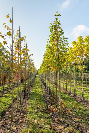 Vertical image of a Duth tree nursery in the fall season. The nursery specializes in trees for avenues with a branch-free trunk.