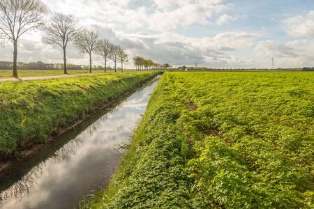 Large field with Celeriac plants almost ripe for harvesting. The photo was taken on a sunny day in the Dutch autumn season near the village of Werkendam, gemeente Altena, provincie North Brabant.