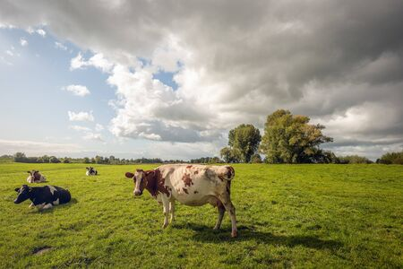 One red-and-white cow poses in front of the photographer in the Dutch meadow. The other cows are lazy and ruminate. Dark clouds appear in the meantime in the blue sky and a rain shower threatens. Stockfoto