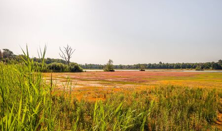 Drought in a Dutch nature reserve next to the Mastbos. The normally swampy terrain is overgrown with the invasive swamp stonecrop or Crassula helmsii plants; these are hardly to be destroyed. Stockfoto