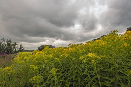Budding and flowering Goldenrod in its own natural habitat. The photo was taken in a Dutch nature reserve ona very cloudy day in the summer season. Stockfoto