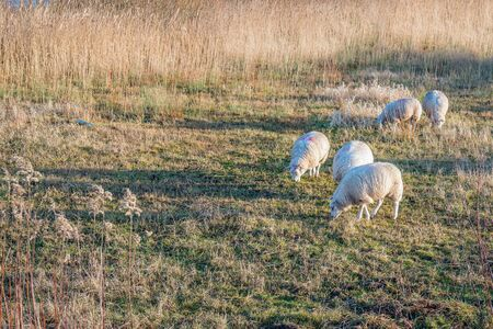 Sheep grazing in the light of the low sun. It is at the end of the afternoon on a beautiful winter day. The photo was taken in the Dutch National Park De Biesbosch, province of Noord-Brabant.