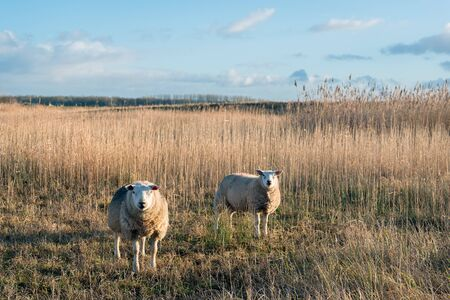 One sheep is posing for the photographer and the other is watching us. It is at the end of the afternoon on a beautiful winter day. The photo was taken in the Dutch National Park De Biesbosch.