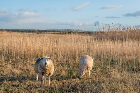 One sheep is posing for the photographer and the other is continuing to graze. Its at the end of the afternoon on a beautiful winter day. The photo was taken in the Dutch National Park De Biesbosch. Stockfoto
