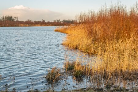 Golden reed plants on the waterfront. The photo was taken on a beautiful winter day by the river Nieuwe Merwede on the edge of the Dutch National Park De Biesbosch, province of Noord-Brabant.