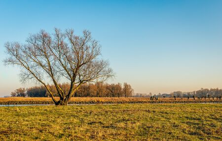 High tree with bare branches in low afternoon sunlight at the end of a sunny day in the Dutch winter season. The photo was taken near the village of Sleeuwijk, municipality of Altena, North Brabant.
