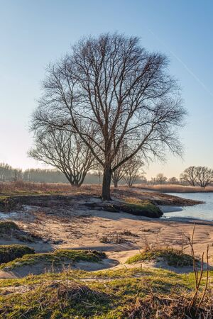 High trees with bare branches in low afternoon sunlight at the end of a sunny day in the Dutch winter season. The photo was taken on the bank of the Nieuwe Merwede river near the village of Sleeuwijk.