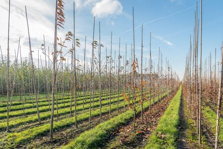 Endless long converging rows of young trees supported with sticks in a Dutch tree nursery. Strips of fresh green grass are between the rows. It is autumn and the leaves are brown discolored already.