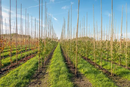 Endless long rows of young trees supported with bamboo sticks in a Dutch tree nursery. Strips of grass are between the rows. It is autumn in the Netherlands.