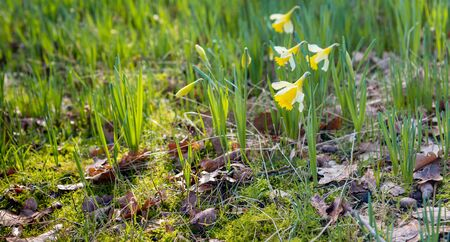 Closeup of budding and blooming yellow daffodils in the wild nature between grass, moss and fallen brown tree leaves. Spring is coming soon now. Stockfoto