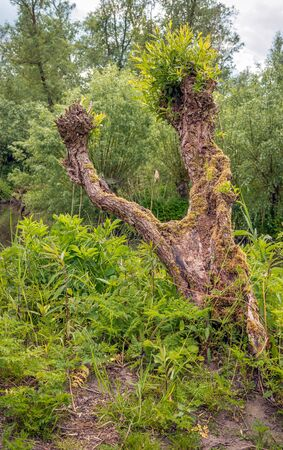Crooked old willow tree. The tree trunk is almost completely rotten, yet new twigs bud with fresh green leaves. The photo was taken in the Dutch National Park Biesbosch, Werkendam, Noord-Brabant.