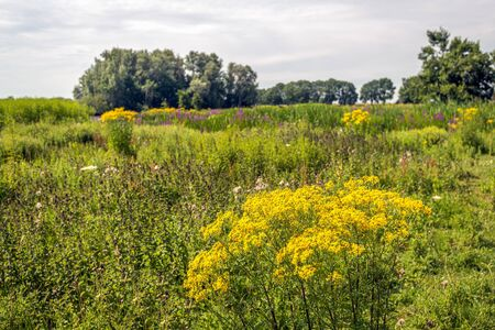 Yellow flowering common ragwort or Jacobaea vulgaris in the foreground of a Dutch nature reserve on a cloudy day in the summer season.