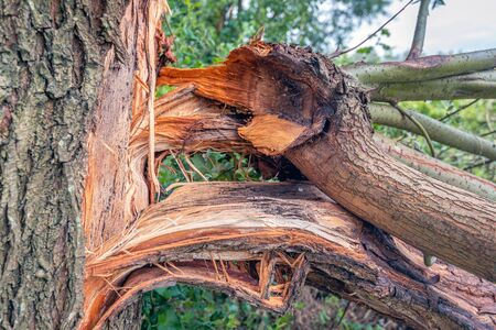 Closeup of thick branches after a storm broken off from a tree trunk.