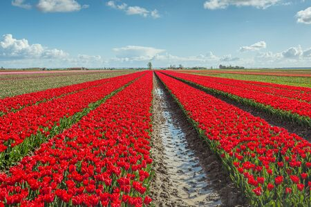 Converging flower beds with bright red blooming tulip bulbs on a sunny day in the Dutch spring season. The photo was taken on the former island Goeree-Overflakkee. Stock Photo