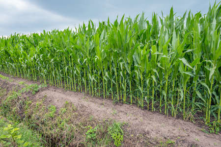 Silage maize along a Dutch polder ditch. The photo was taken on a cloudy day in the summer season.