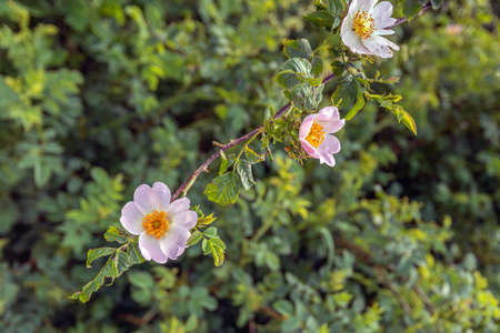 Closeup of a flowering Dog Rose shrub in a Dutch nature reserve. It's springtime now.