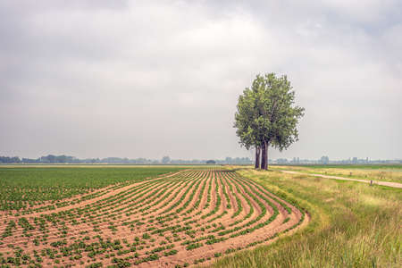 Picturesque photo of trees along a potato field. It's spring; fog and low-hanging clouds limit visibility somewhat. The photo was taken near the small Dutch village of Hank, North Brabant.