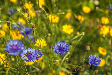 Close-up of budding and blue blooming cornflowers in the foreground of a Dutch field border to promote biodiversity. Bright yellow flowers bloom in the background. It's a sunny day in springtime.