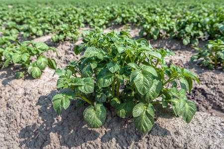 Closeup of a fresh green potato plant in the foreground of a large potato field. The photo was taken on a sunny day at the end of the spring season on a Dutch field in the province of Zeeland.