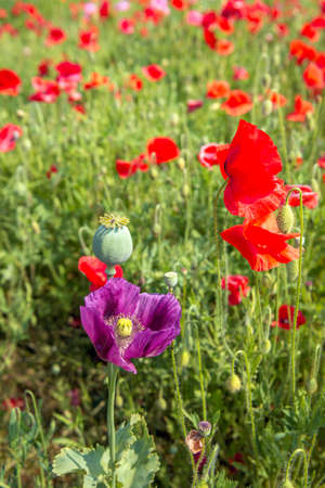 Close-up of a purple colored large poppy flower in the foreground of common red poppies in a Dutch field in springtime. The large poppy stands out above the others and is very striking.