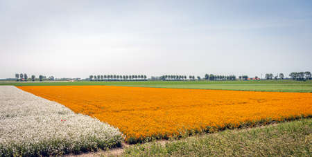 Colorful fields with flowering plants at a Dutch flower seed nursery near the village of Sint-Annaland, Tholen, province of Zeeland. The photo was taken at the end of the spring season.