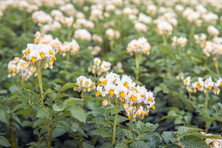 Exuberant yellow and white flowering potato plants in a Dutch field. The photo was taken in the province of North Brabant on a sunny day at the beginning of summer.