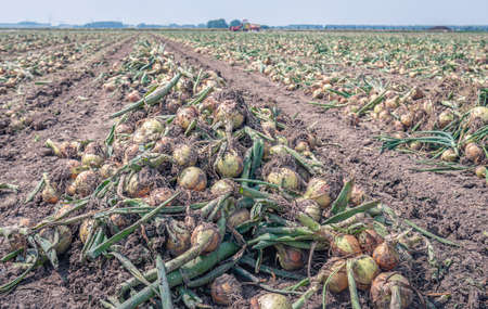 Long converging rows with harvested onions drying on a Dutch field ready to be picked up mechanically for transport. The photo was taken in the province of North Brabant in the beginning of summer.