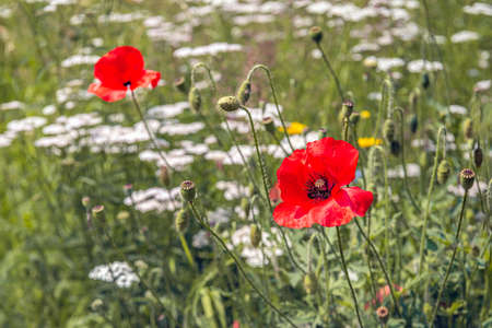 Flowers, buds and seed pods of red poppies among other wild flowers on the edge of a Dutch field. The photo was taken in the province of North Brabant at the beginning of the summer.