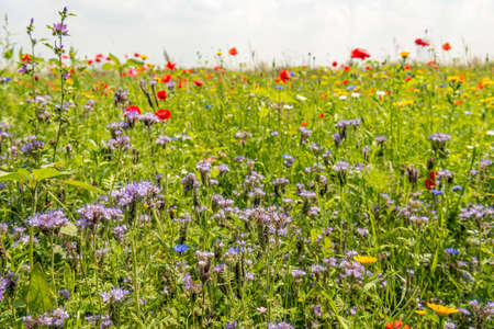 Closeup of a colorful field margin in the Netherlands. In addition to purple tansy, poppies, grasses and other plants also bloom. The plants were soon to promote biodiversity.
