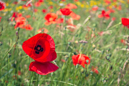 Red blooming poppy in the foreground of a field border with wild flowers. The photo was taken at the beginning of the summer season in the Dutch province of North Brabant.