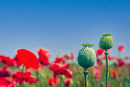 Two poppy seed heads against a blue sky. Red flowering poppies are visible in the background. The photo was taken on a sunny day at the end of the spring season on a Dutch field. Standard-Bild